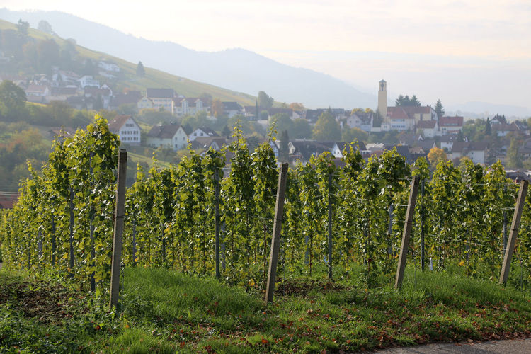 Vineyards near Baden-Baden with silhouette of village Varnhalt in background Agriculture Architecture Beauty In Nature Day Field Green Color Growth Landscape Mountain Nature No People Outdoors Rural Scene Scenics Sky Tree Varnhalt Vineyard Wine Winemaking Winery
