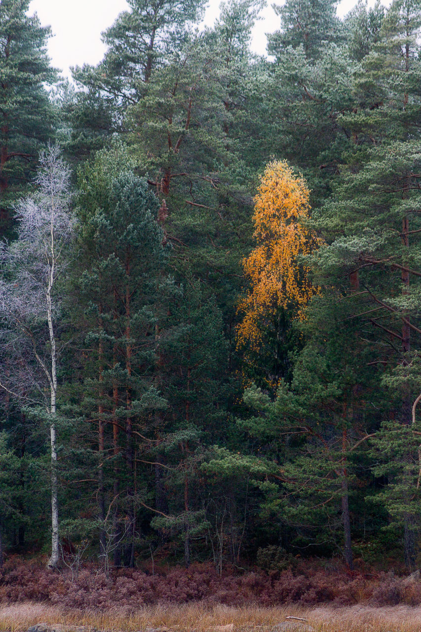 tree, forest, nature, autumn, growth, no people, pine tree, day, beauty in nature, outdoors, tranquility, branch
