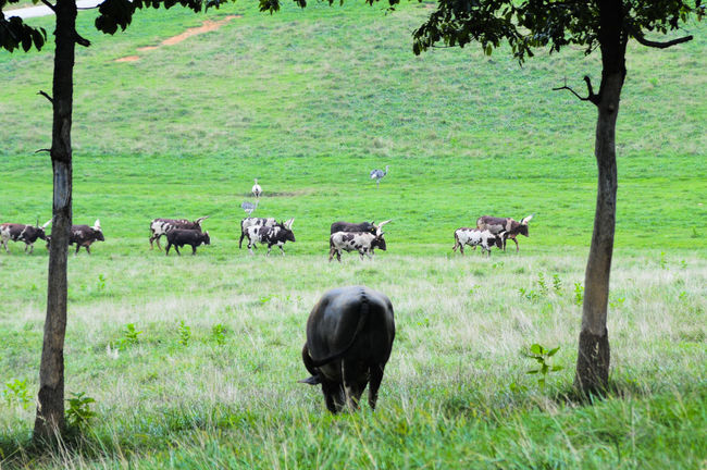 Water Buffalo and Ankole Watusi Cattle 1298 Animal Themes Ankole Beauty In Nature Cattle Day Field Grass Grassy Grazing Green Color Growth Landscape Livestock Mammal Meadow Medium Group Of Animals Nature No People Outdoors Rural Scene Sheep Tranquil Scene Tranquility Watusi Young Animal