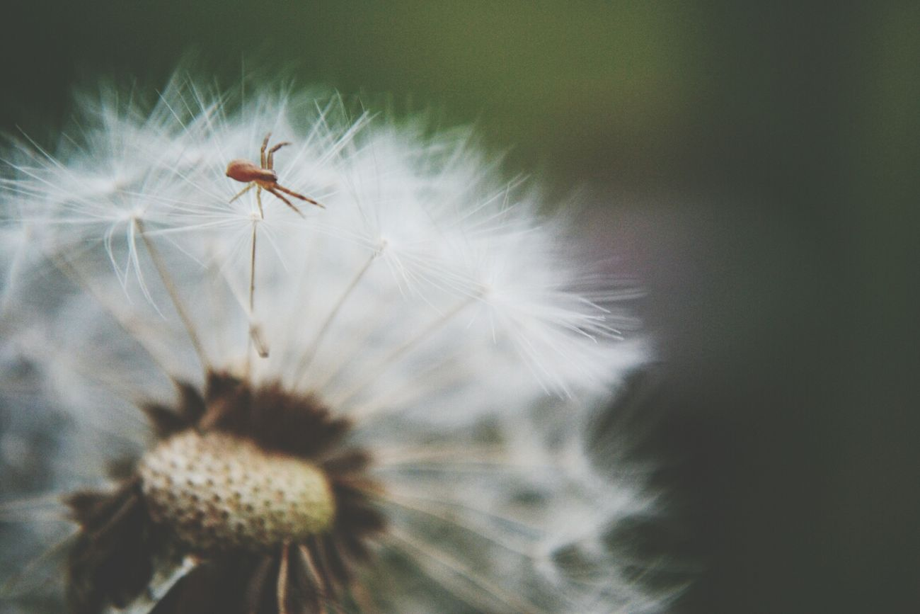 Spider Nature Dandelion Yesterday