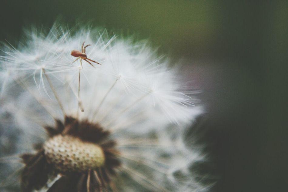 Spider Nature Dandelion Yesterday
