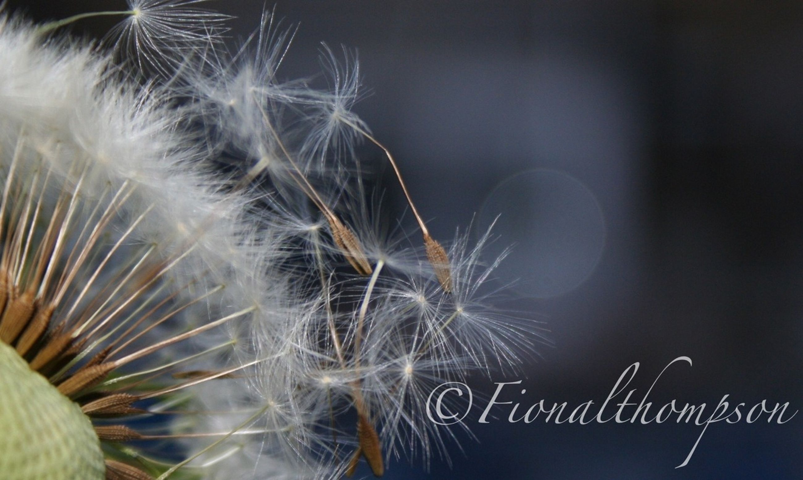 close-up, fragility, freshness, indoors, focus on foreground, spiked, flower, no people, growth, pattern, nature, plant, sharp, selective focus, cactus, thorn, natural pattern, dandelion, softness, flower head