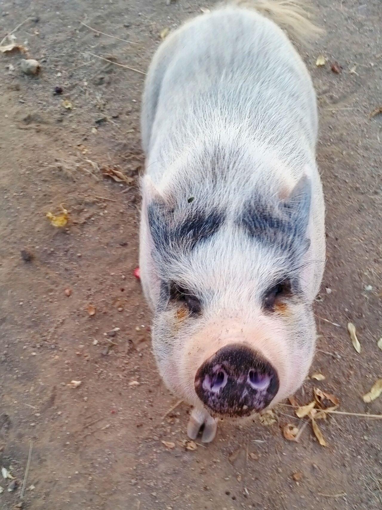 Pig Roseville, CA