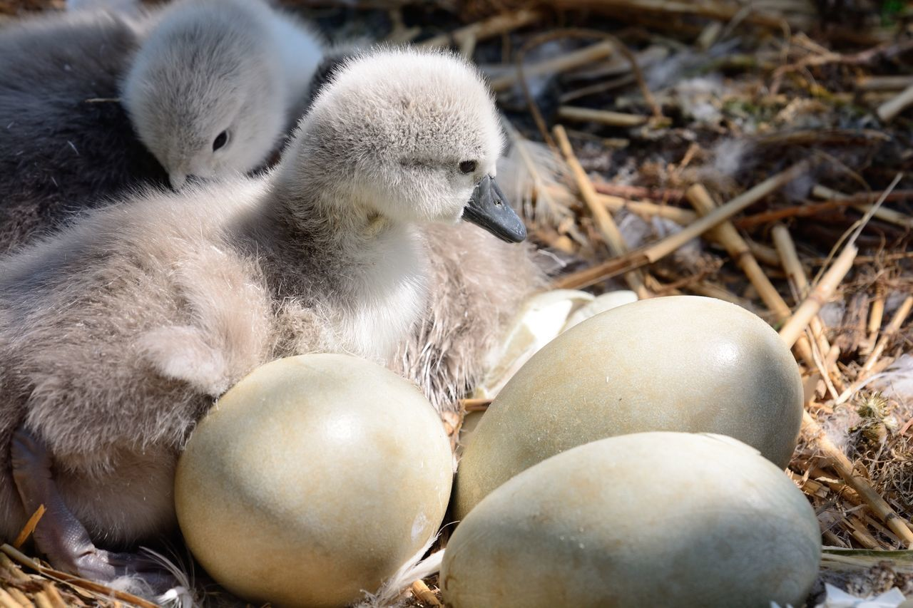 Animal Themes Animals In The Wild Baby Bird Beauty In Nature Bird Check This Out Close-up Cute Cygnet Day Eggs Eye4photography  EyeEm Best Shots EyeEm Gallery EyeEm Nature Lover Nature Nature Photography Nature_collection Nest No People Outdoors Spring Taking Photos Wildlife Young Bird