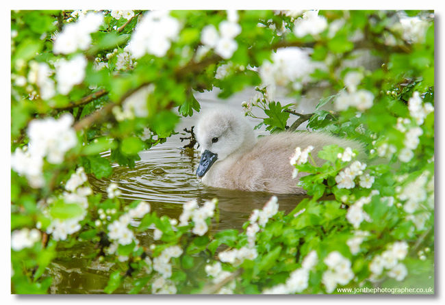 Spring Cygnet Swan Baby Offspring CIRCLE Of LIFE Reproduction Ugly Duckling Cute Super Cute Pretty Beautiful Stunning Gorgeous Lovely Heart Warming Flowers Elderflower Fine Art Photography Fine Art Fineart Fineartphotography Bird