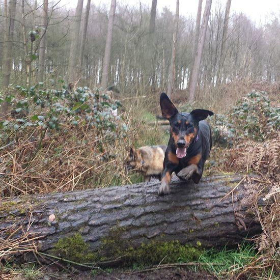 Skyes in training for the Grand National Dobermann Dogoftheday Dobe Dogsofinstagram Dog Photo Jumping WoodLand Pet Photography  Dog
