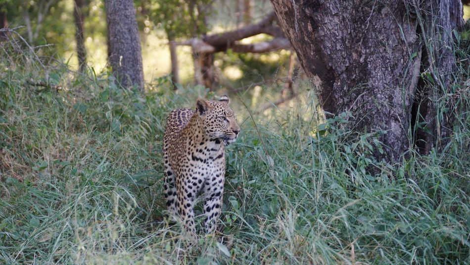 Kruger National Park, South Africa Wildlife Photography Wildlife & Nature Wild Animal Photography Leopard Day Early Morning African Animals One Animal Grass Animals In The Wild