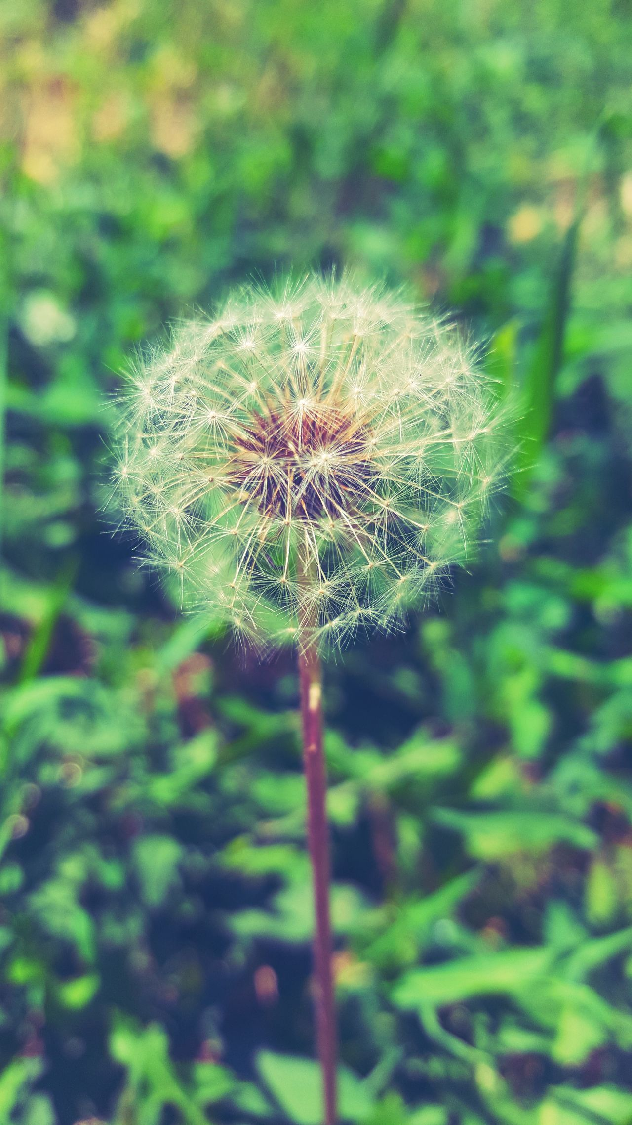 Beauty In Nature Close-up Dandelion Day Flower Flower Head Flower Petal Growth Nature No People One Flower Outdoors Petal Plant Springtime Vertical