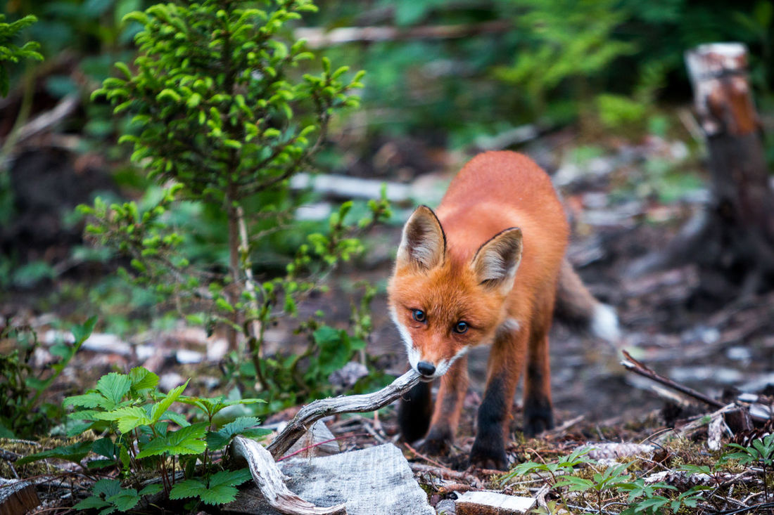 Animal Themes Animal Wildlife Animals In The Wild Day Fox Mammal Nature No People One Animal Outdoors Plant