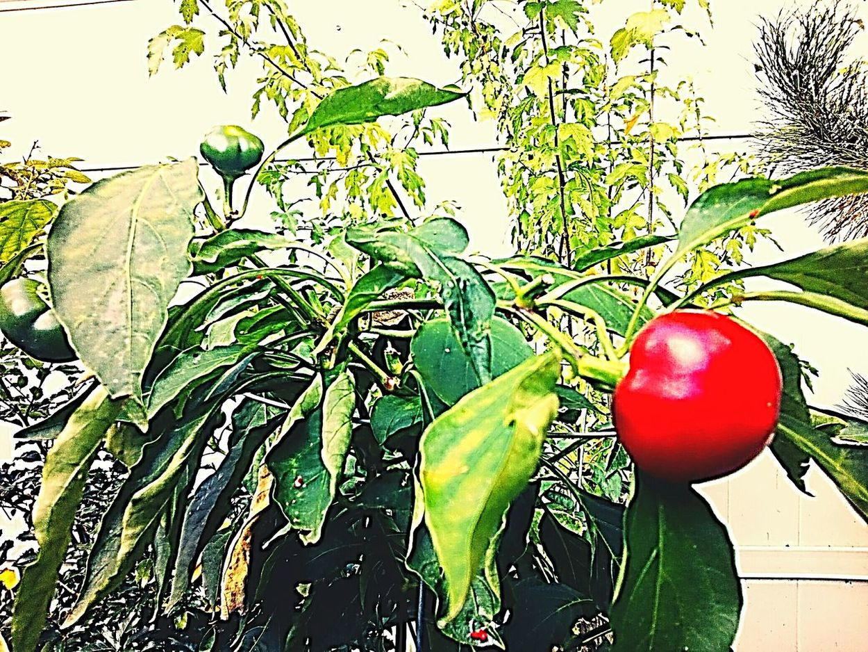 Healthy Eating Food Leaf Freshness No People Nature Green Color Red Red Cherry Peppers On The Vine