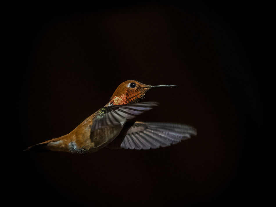 Animal Themes Animal Wildlife Animals In The Wild Beauty In Nature Bird Black Background Close-up Day Flying Hummingbird Kolibri Mid-air Nature No People One Animal Outdoors Rufous Rufous Hummingbird Rufus Spread Wings