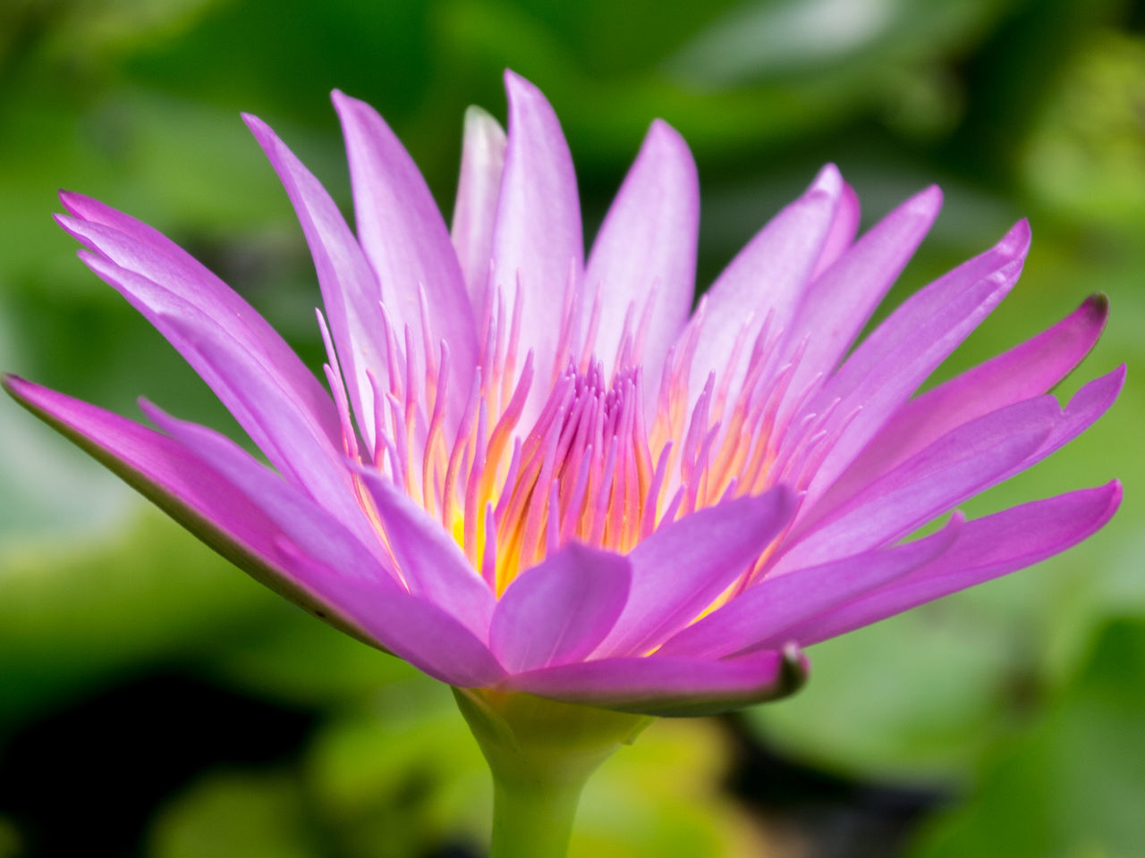 Close-up Blooming Purple Lotus in Pond Beauty In Nature Blooming Close-up Crocus Day Flower Flower Head Fragility Freshness Growth Lotus Love Nature No People Outdoors Petal Plant Purple