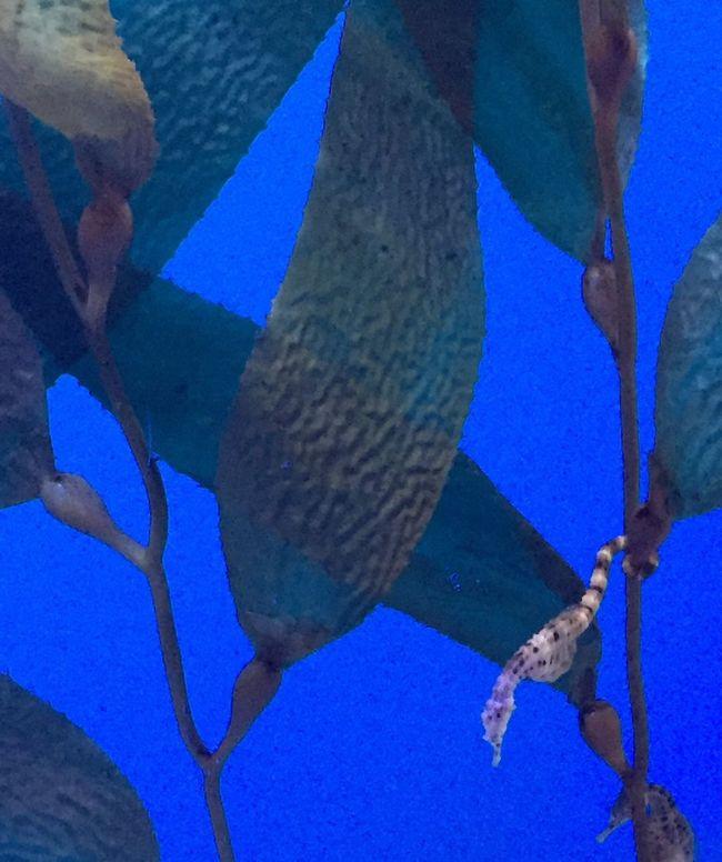 Sealife Vibrant Color Blue Seahorse First Eyeem Photo Oceancreatures Underwater Underthesea Water Newtalent