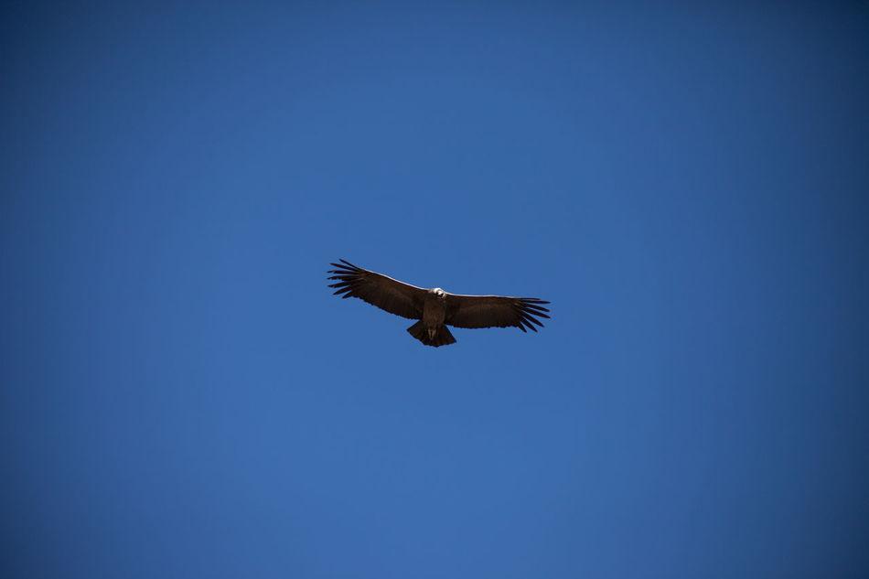 Beautiful stock photos of eagle, Animal Themes, Bird, Clear Sky, Day