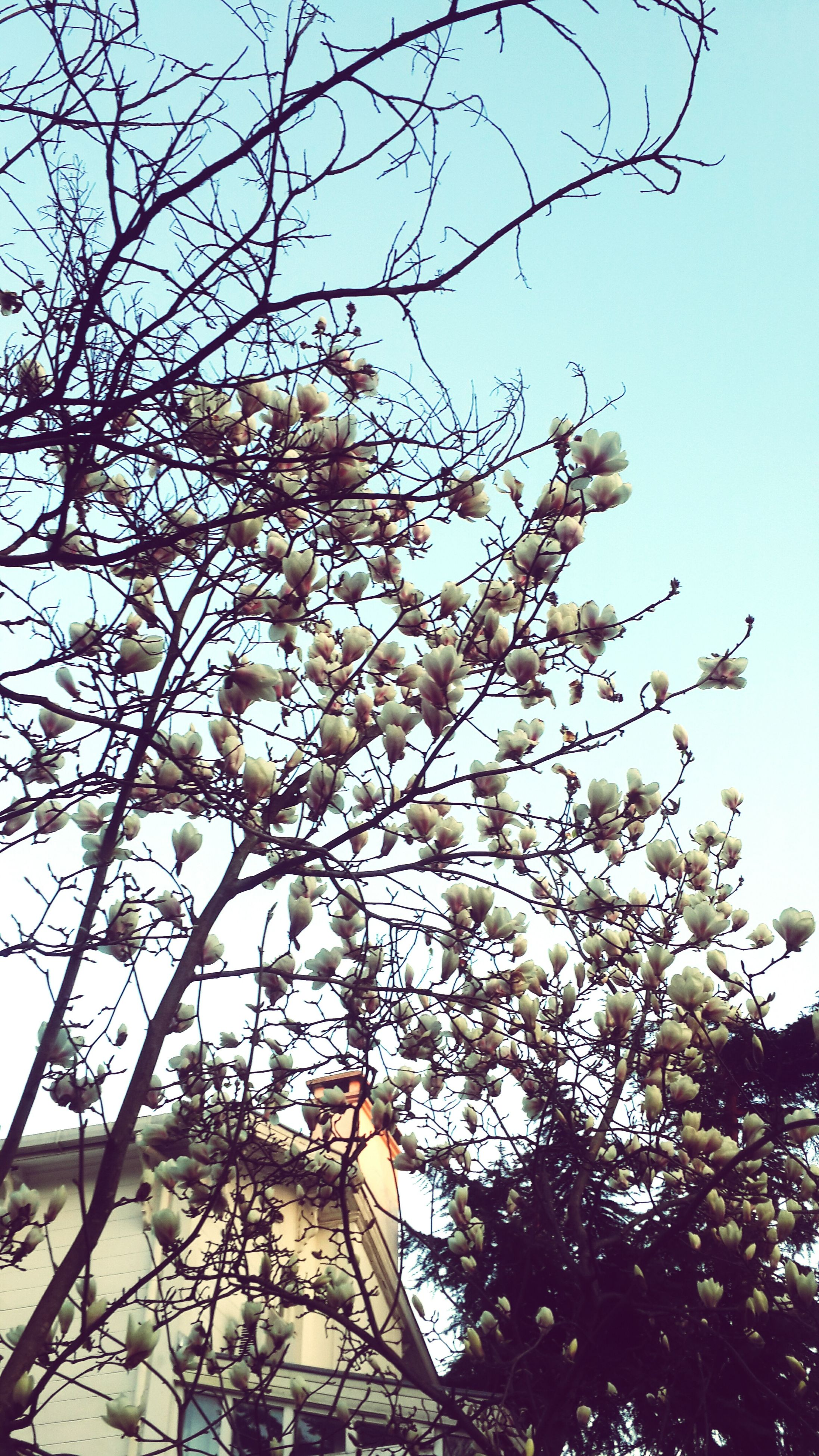 low angle view, branch, tree, flower, clear sky, growth, freshness, nature, beauty in nature, blossom, sky, fragility, cherry blossom, white color, day, cherry tree, outdoors, in bloom, springtime, no people