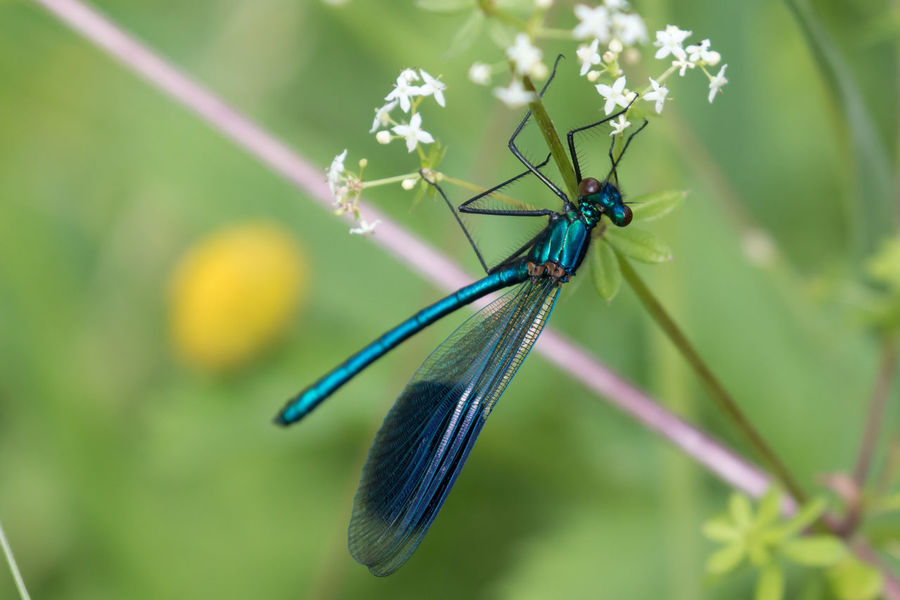 A male Banded Demoiselle damselfly Animal Wing Banded Demoiselle Beauty In Nature Blue Close-up Damselfly Demoiselle Focus On Foreground Fragility Green Color Insect Nature No People Outdoors Selective Focus Wildlife