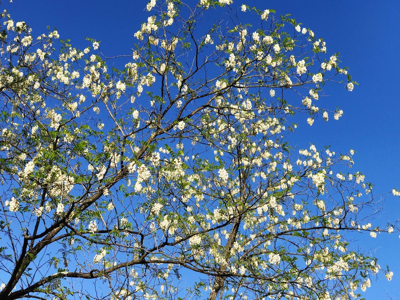 Acacia Acacia Tree Acacia Flowers Acacia Dealbata Branch Blossom Branches Branches And Sky Branch And Flowers Sky Background Clear Sky Flower Tree Growth Low Angle View Blue Beauty In Nature Nature Springtime No People Fragility Magnolia Day Freshness Outdoors Petal Sky Spring