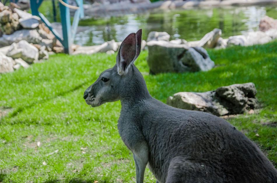 Animal Animals Close-up Day Focus On Foreground Nature No People Wild Animals Zoo Zoo Animals  Kangaroo Kangaroos Kangaroo Friend KangarooJack