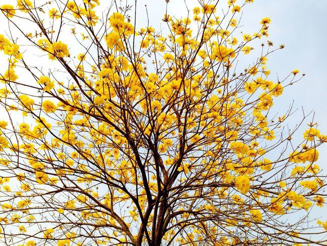 Yellow Flower Trees EyeEm Trees