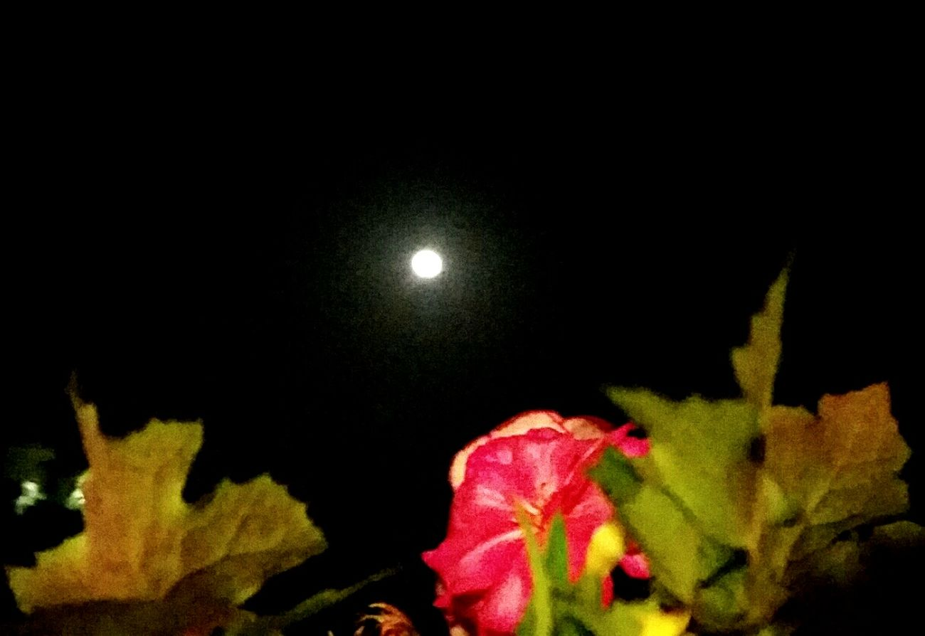 My Fullmoon tonight... EyeEmNewHere AMPt - My Perspective Showcase February 2017 From Where I Stand Night Lights Green Leaf Veiny Leaf Pink Flower Looking Up Black Sky ıt's Cold Outside