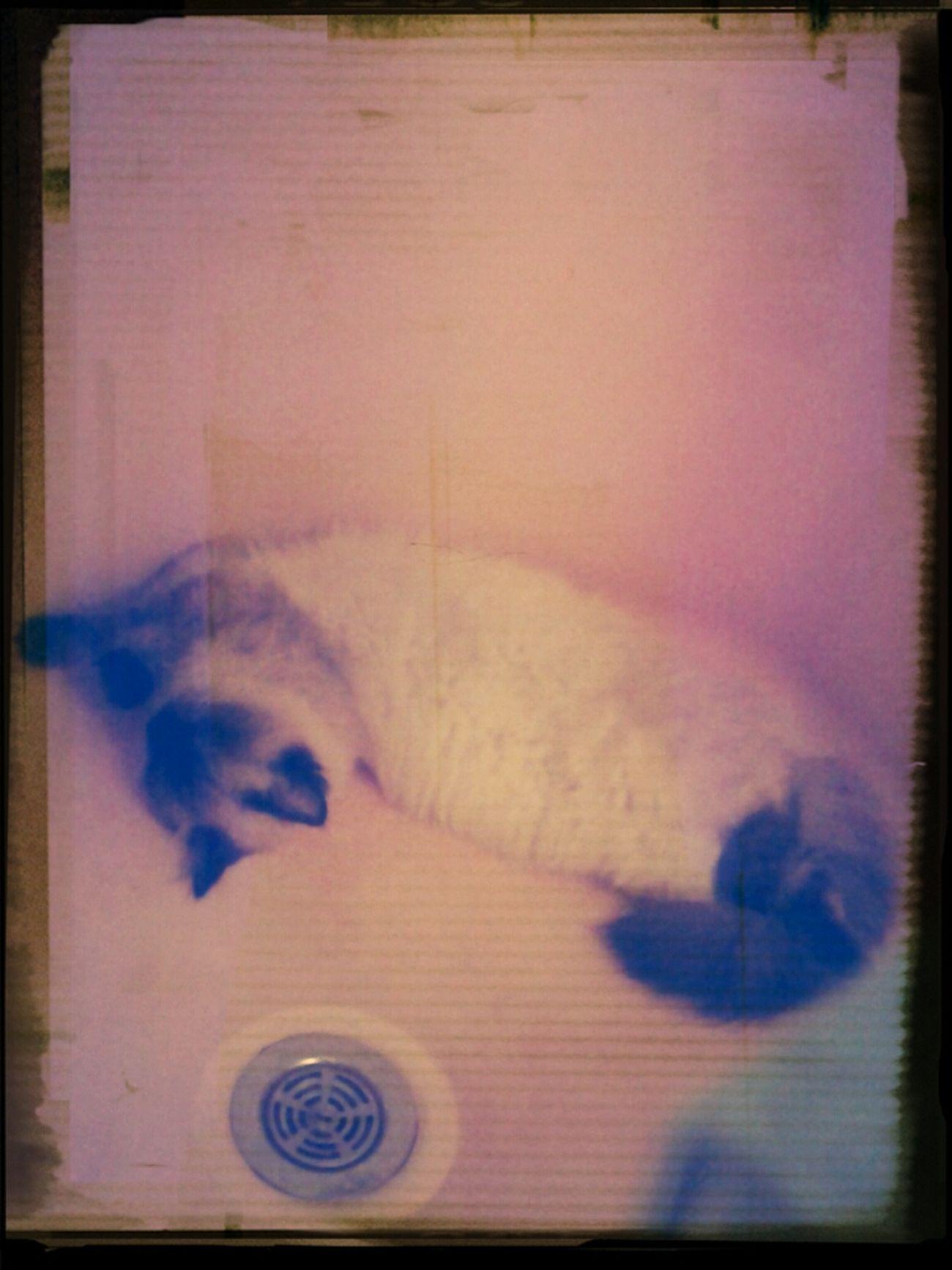 Kitty Fluffy Sleeping Kitty In Shower Himalayan