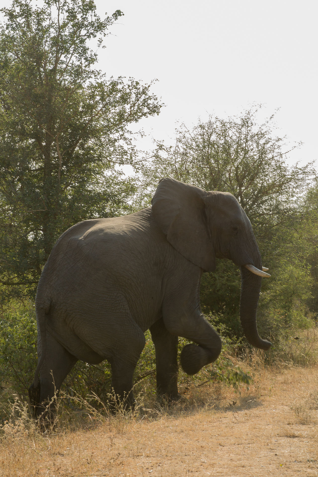 African Elephant Animal Animal Themes Animal Wildlife Animals In The Wild Day Elephant Full Length Grass Mammal Nature No People One Animal Outdoors Tree Tusk