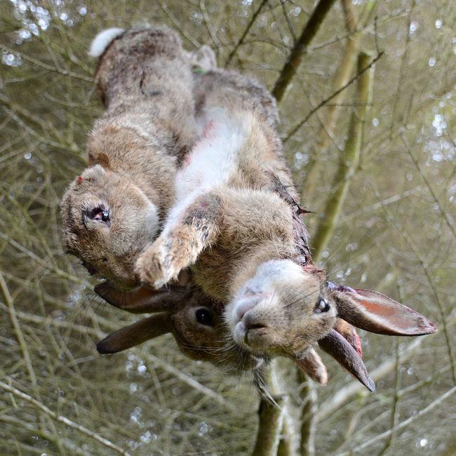 Hung Game Game Game Animals Hunting Rabbits