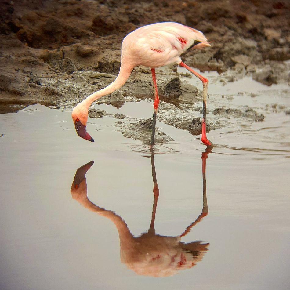 Flamingos In Water Flamingo Serengeti National Park Tanzania
