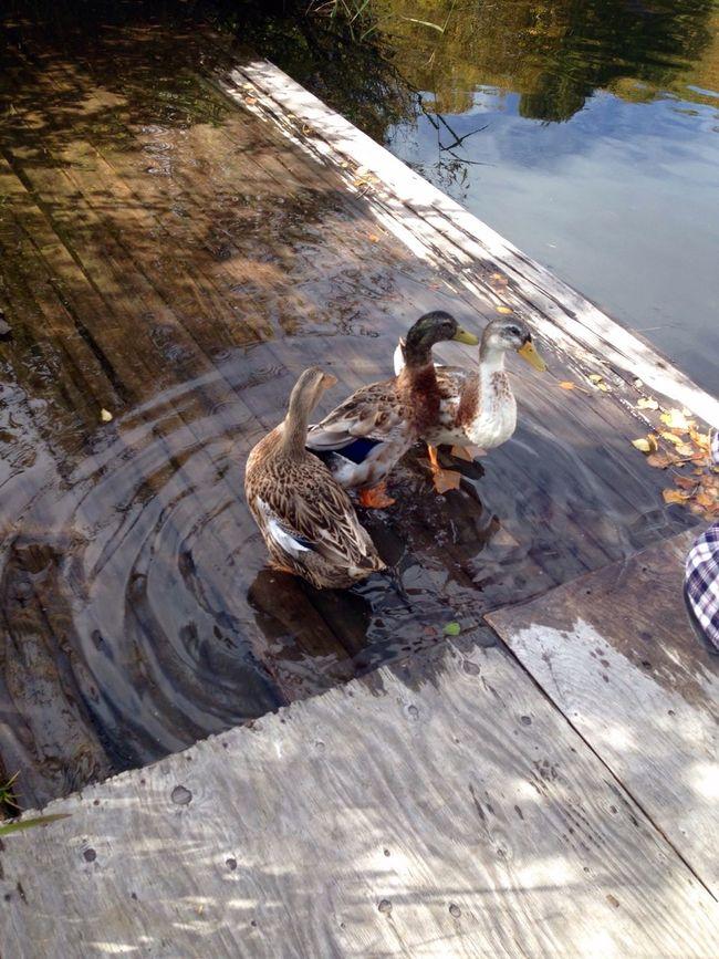 信州 志賀高原 木戸池の鴨です😄 Duck 鴨 japan naganoprefecture shigakogen kidoike Plateau Lake Deceptively Simple Cute 山ノ内町