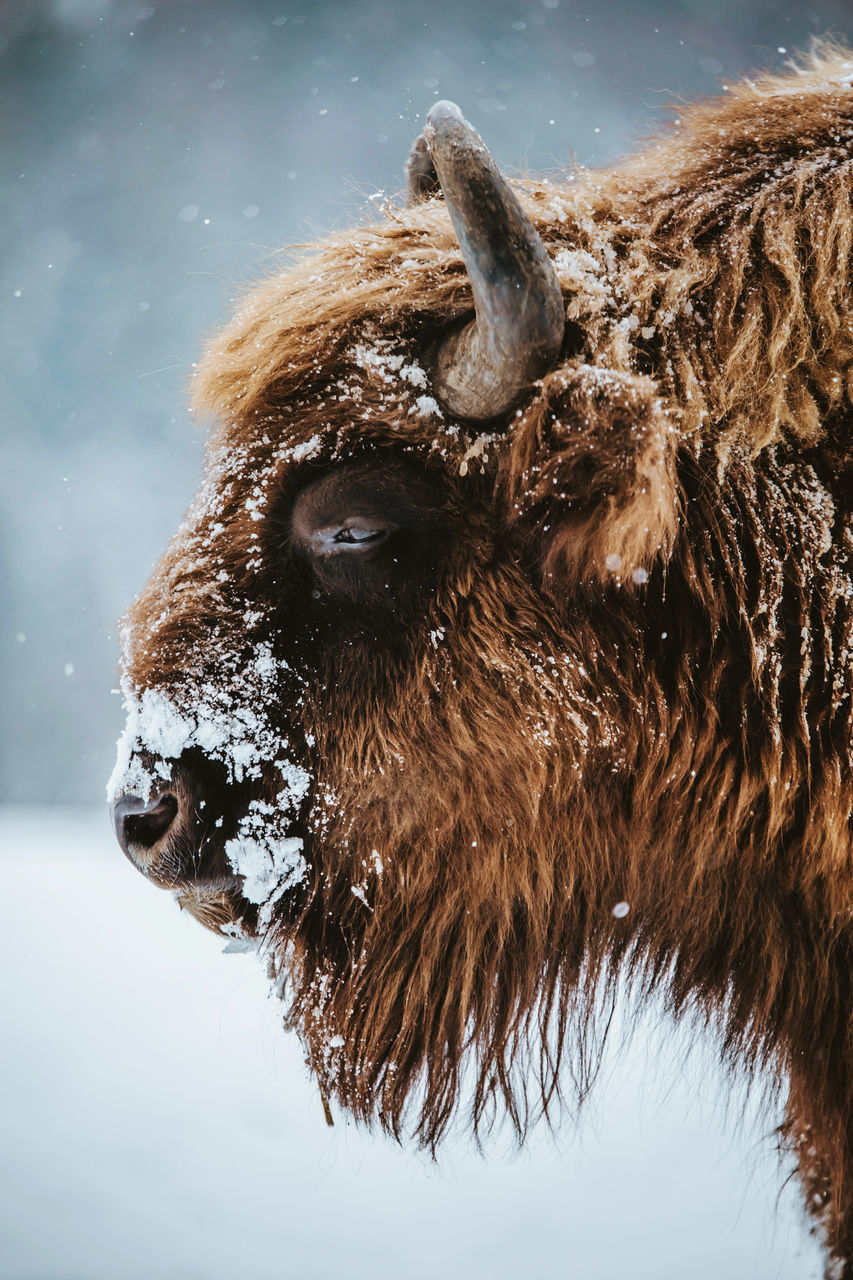 Bison EyeEm Best Shots EyeEm Nature Lover Nature Wintertime animal hair animal themes animal wildlife Animals in the Wild beauty in Nature close-up cold day headshot Highland Cattle Livestock mammal Nature no people one animal outdoors portrait snow wilderness Winter