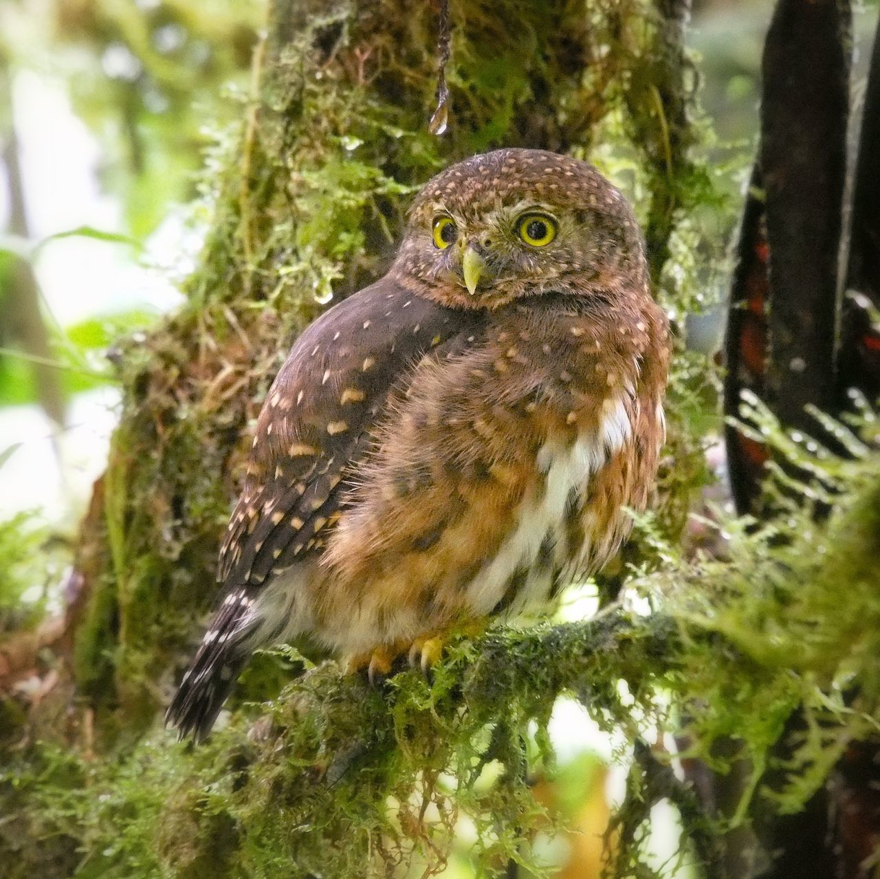 Beautiful stock photos of owl, Animal Themes, Animals In The Wild, Branch, Costa Rica