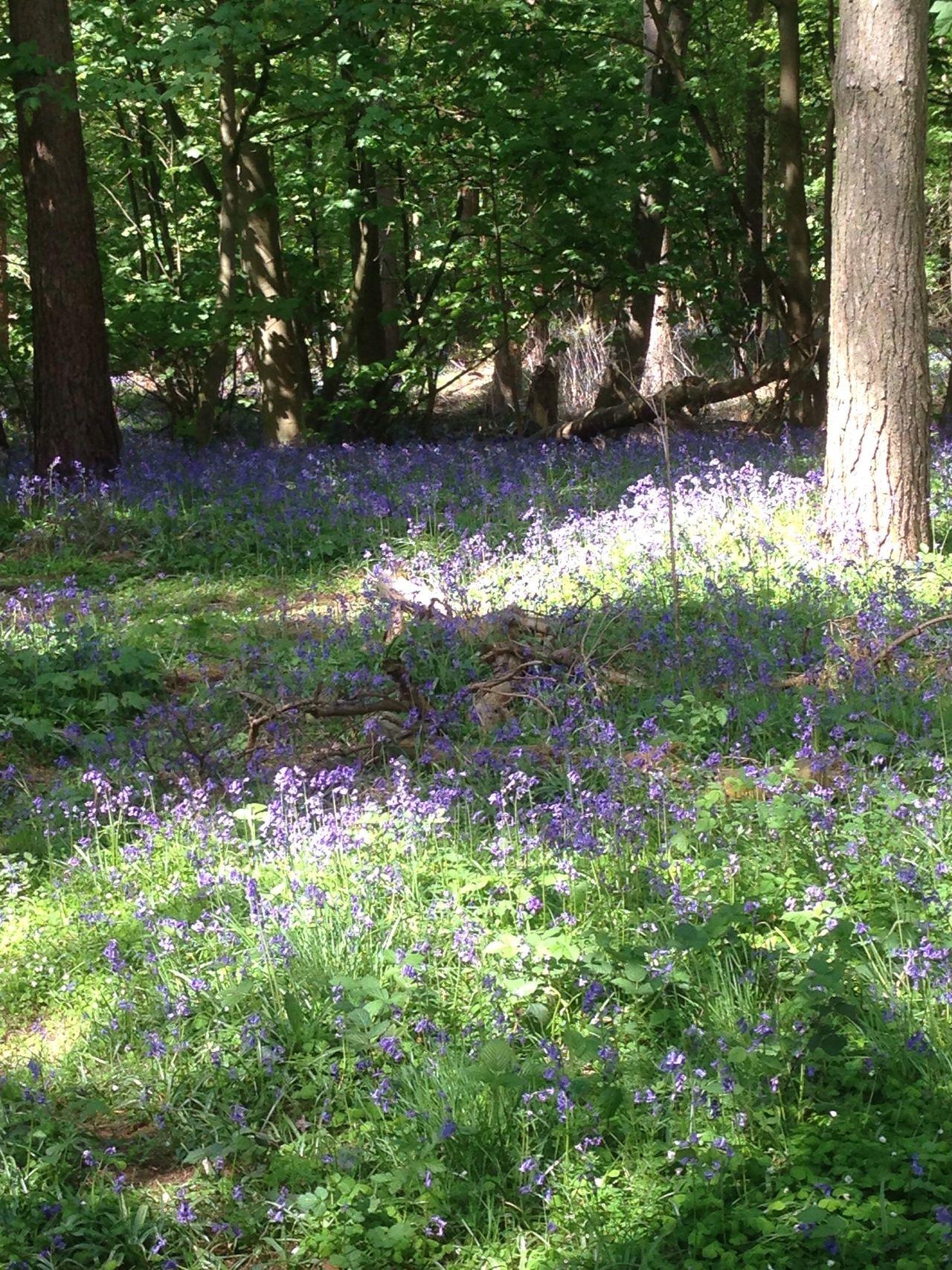 Bluebells Flowers Nature WoodLand