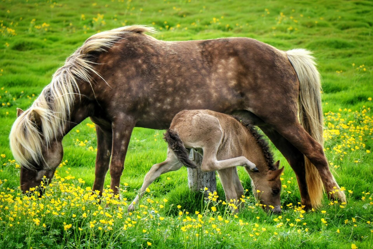 Capturing The Moment Iclandic Horses Beautiful Moment Summer Time  Contry Side Beauty In Nature Beauty In Evrything New Born Photography Beautiful Day
