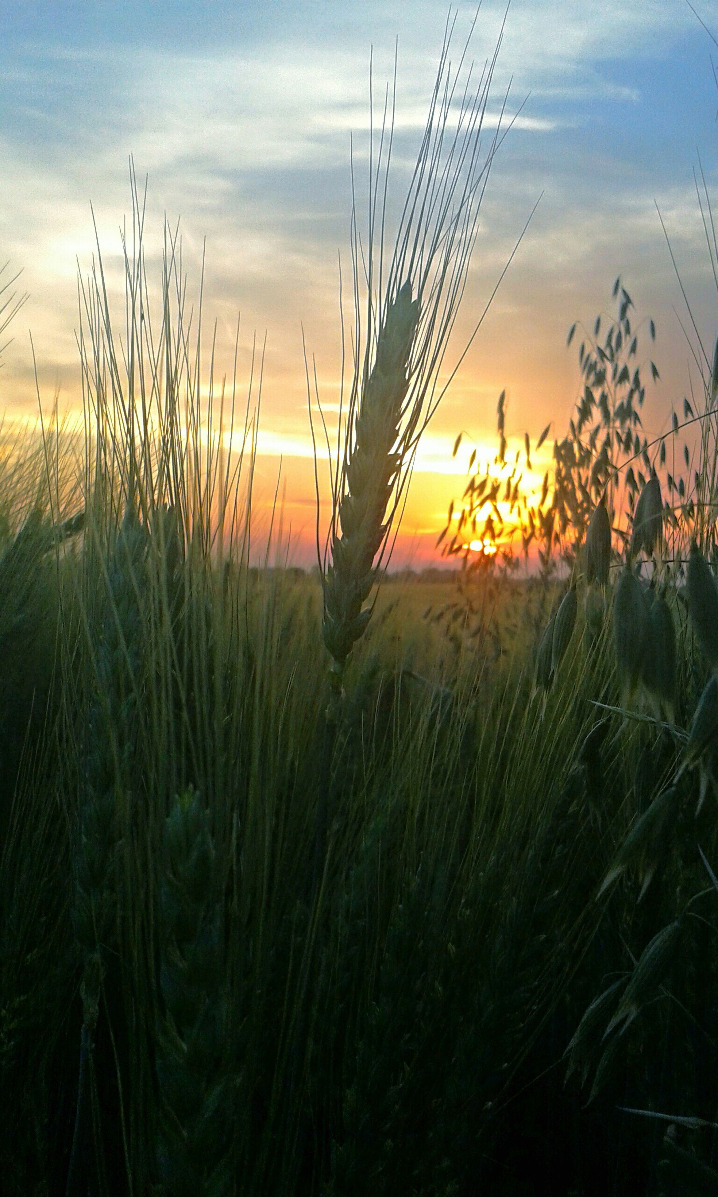 sunset, sky, tranquility, plant, growth, tranquil scene, beauty in nature, field, scenics, nature, grass, orange color, sun, idyllic, landscape, rural scene, silhouette, crop, cloud - sky, agriculture