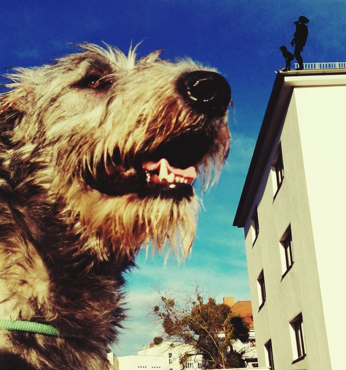 King K... Cearnaigh. Taking Photos Enjoying Life The Places I've Been Today Dezember Dezember 2015 Dog Love Cearnaigh Dogsofinstagram Dogslife Dogoftheday Animal_collection I Love My Dog❤ Dogs Of EyeEm Dog Of The Day How's The Weather Today? Dogwalk Irishwolfhound My Dogs Are Cooler Than Your Kids Irish Wolfhound Dog❤ Dezember 2013 Cheese! Beware Of The Dog Magdeburg