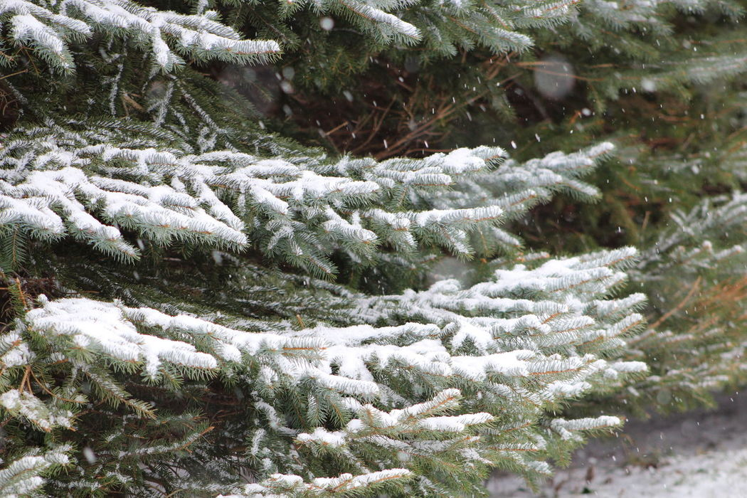 Backgrounds Cold Cold Temperature Day Evergreen Evergreen Branches Full Frame Green Green Color Lush Foliage Nature Pattern Power In Nature Snow Snow Covered Evergreen Branch Snow Covered Tree Winter