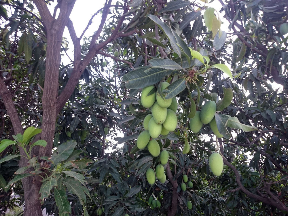 Many mangoes (some ripe, some still raw / unripe) hanging on a large tree. There are some mangoes in large bunches, while others are in small numbers. Bunch Of Mangoes Bunches Of Mangoes Fruit Tree Fruiting Tree Greenery Leaf Leaves Mango Mango Tree Mangoes Raw Mangoes Ripe Mango Ripe Mangoes Tree Branch  Tree Branches Unripe Mangoes