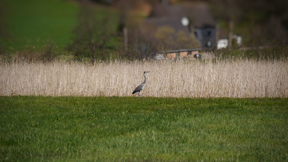 Grey heron on countryside landscape Animal Themes Animals In The Wild Bird Animal Wildlife Grass Nature Heron One Animal Field No People Outdoors Beauty In Nature Landscape EyeEm Gallery Grey Bird Reiher Cereal Field Graureiher Focus On Foreground Ladyphotograferofthemonth