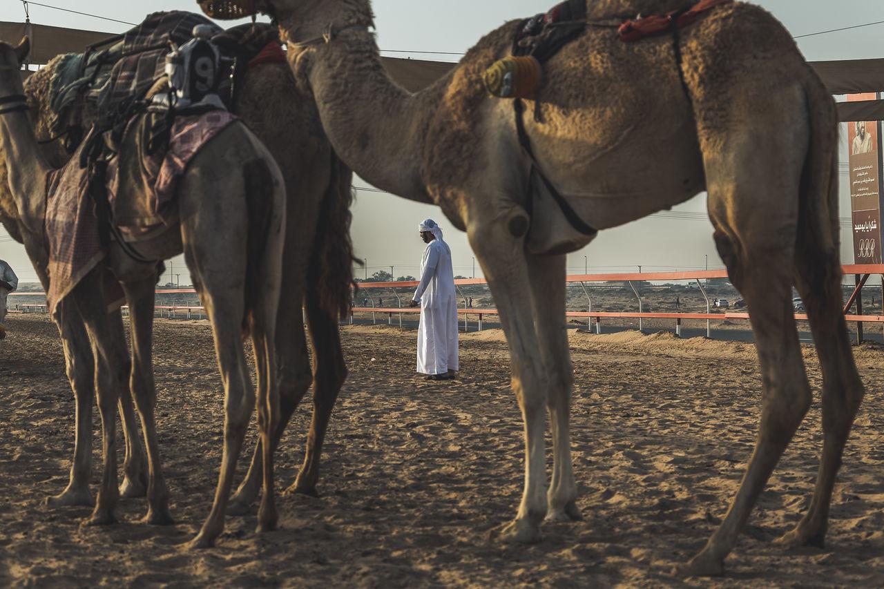 Animal Themes Beauty In Nature Camel Domestic Animals Dubai Exploring Eye4photography  EyeEm EyeEm Best Shots EyeEm Gallery Nature Outdoors Weekend The Street Photographer The Street Photographer - 2017 EyeEm Awards The Photojournalist - 2017 EyeEm Awards