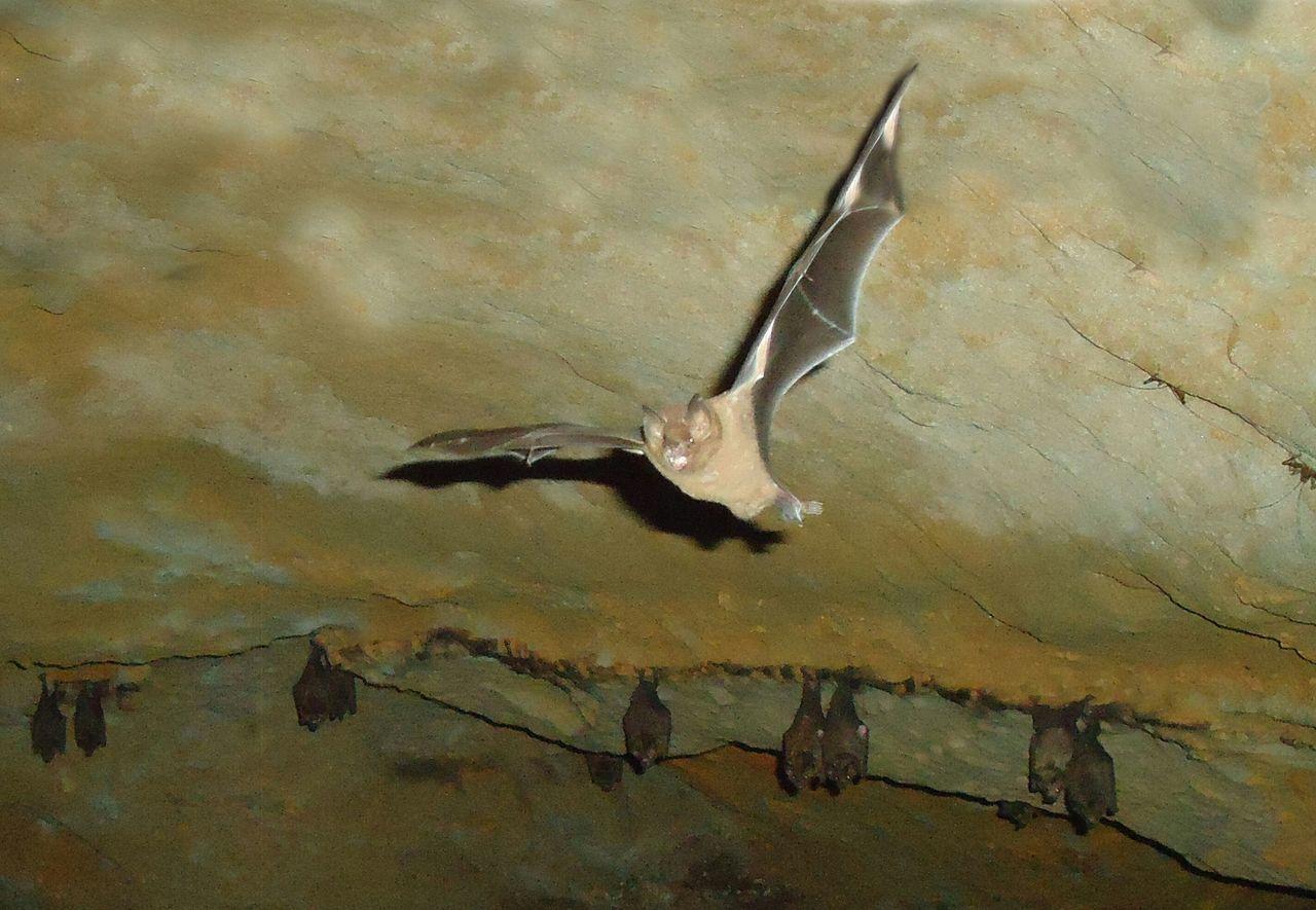 cueva Selva Ecuatoriana Murcielago Bat Animal Cueva Animals