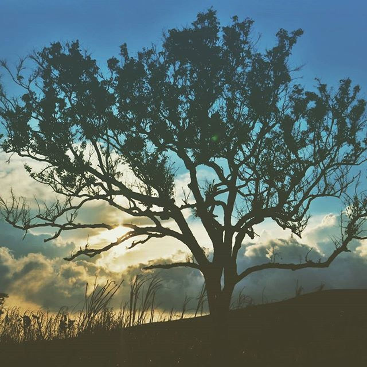 Tree branches and sun with clouds and grass Tree Sky Nature Grass Tambora Savanna INDONESIA Instamood Instagood_myphoto Goplaces Selected Vscocam VSCO Vscogrid @klikarbain