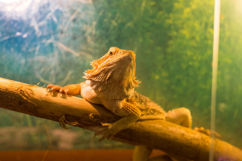 Animal Themes Animal Wildlife Animals In The Wild Bearded Dragon Chameleon Close-up Courage Day Helios 44m-6 Iguana Lizard Nature No People One Animal Outdoors Reptile Sony A6000