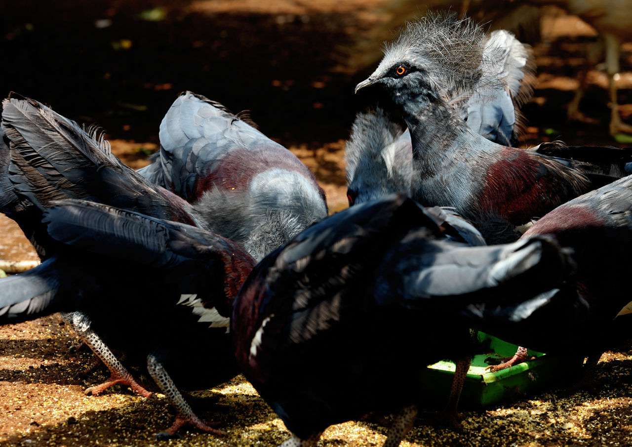 Victoria Crowned Pigeons Animal Themes Animal Wildlife Animals In The Wild Beak Beauty In Nature Bird Close-up Color Image Endangered Animals Feather  Horizontal No People Outdoors Photography Pigeon Bird