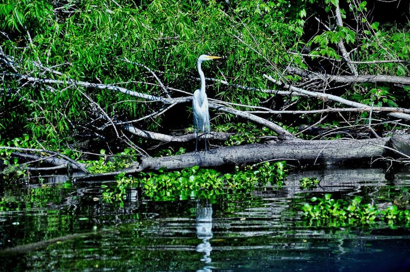 The Great Outdoors - 2017 EyeEm Awards Water Green Color Outdoors Nature Tree Tranquility Day Beauty In Nature Branch No People Grass Swamp Louisiana Camouflage Great Egret Long Legged Animal Leggy Bird
