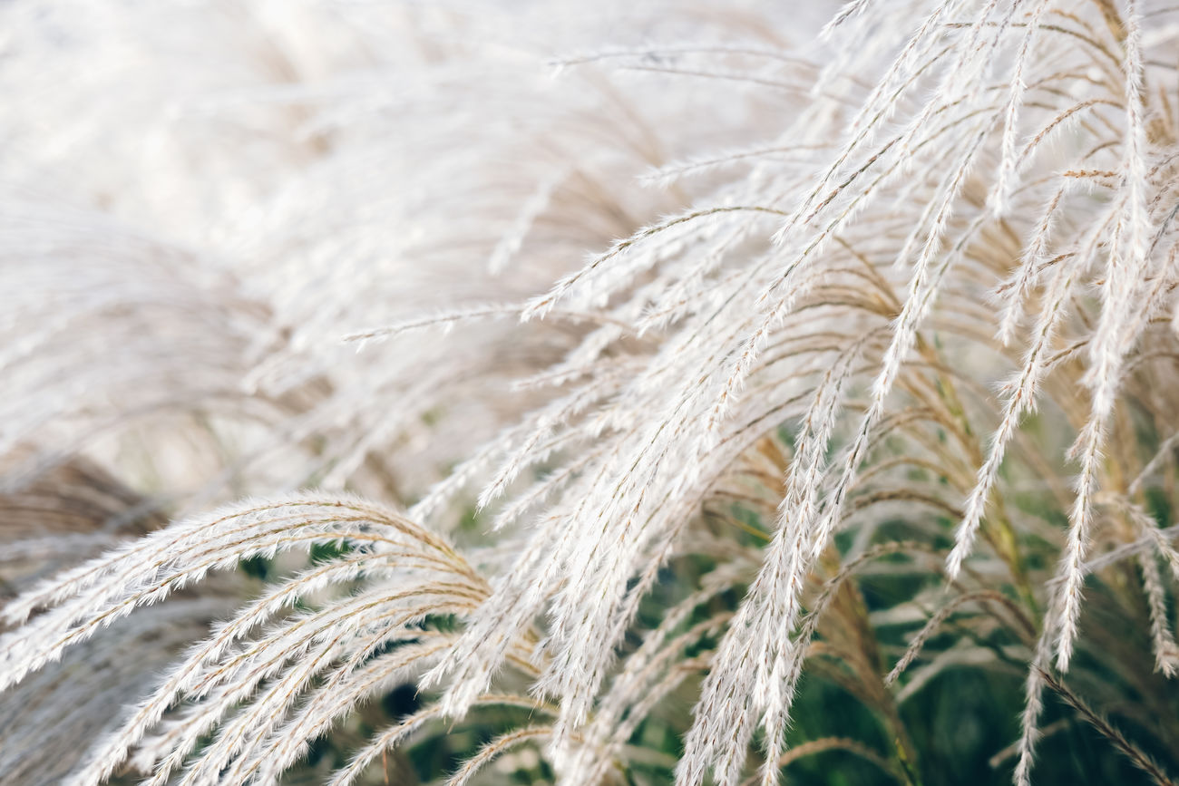 Agriculture Backgrounds Beauty In Nature Cereal Plant Close-up Crop  Day Freshness Fujifilm FUJIFILM X-T1 Fujifilm_xseries Growth Nature No People Outdoors Plant Plant Rural Scene Rye - Grain Wheat White Landscape Tranquility EyeEm Nature Lover EyeEm Best Shots The Great Outdoors - 2017 EyeEm Awards