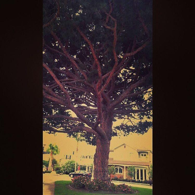 Californiatree Crazybeautiful Amazing Newportbeach