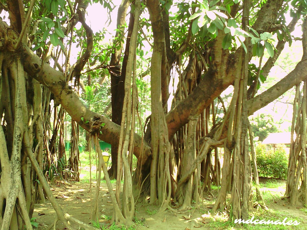 Growth Outdoors Nature Tree Tree Trunk No People Beauty In Nature Branch Day Philippines Photos Outdoor Pictures Outdoors, Outside, Open-air, Air, Fresh, Fresh Air, Outdoor Photography Trees And Nature Philippines Beauty In Nature Growth Tree Trunk Outdoor Beauty