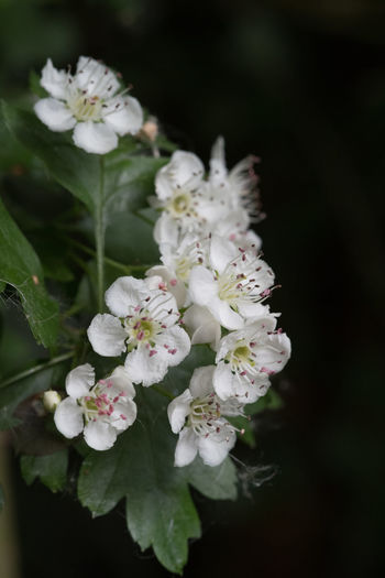 Garden Photography: Whitethorn Beauty In Nature Blooming Blossom Close-up Day Flower Flower Head Fragility Freshness Garden Garden Photography Growth Nature No People Outdoors Petal Plants And Flowers Spring Springtime Stamen White Color Whitethorn Blossoming Of A Tree