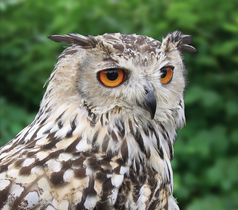Eurasian Eagle Owl Bright Eyes Eurasian Eagle Owl  Eurasian Eagle-owl European Birds European Eagle Owl Horned Owl The Week On EyeEm Animals In The Wild Beak Bird Bird Of Prey Bubo Bubo Close-up Day Outdoors Owl Portrait