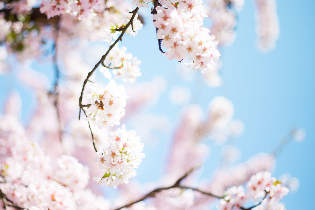 Beautiful Beauty Beauty In Nature Berlin Blooming Blossom Blue Sky Cherry Blossoms Close-up Fancy Flower Fresh Freshness Girl Love Nature Pastel Pink Pink Color Romantic Springtime Tree